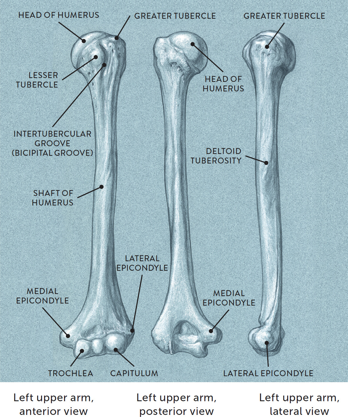 Anterior Surface Of A Human Humerus Manual Guide