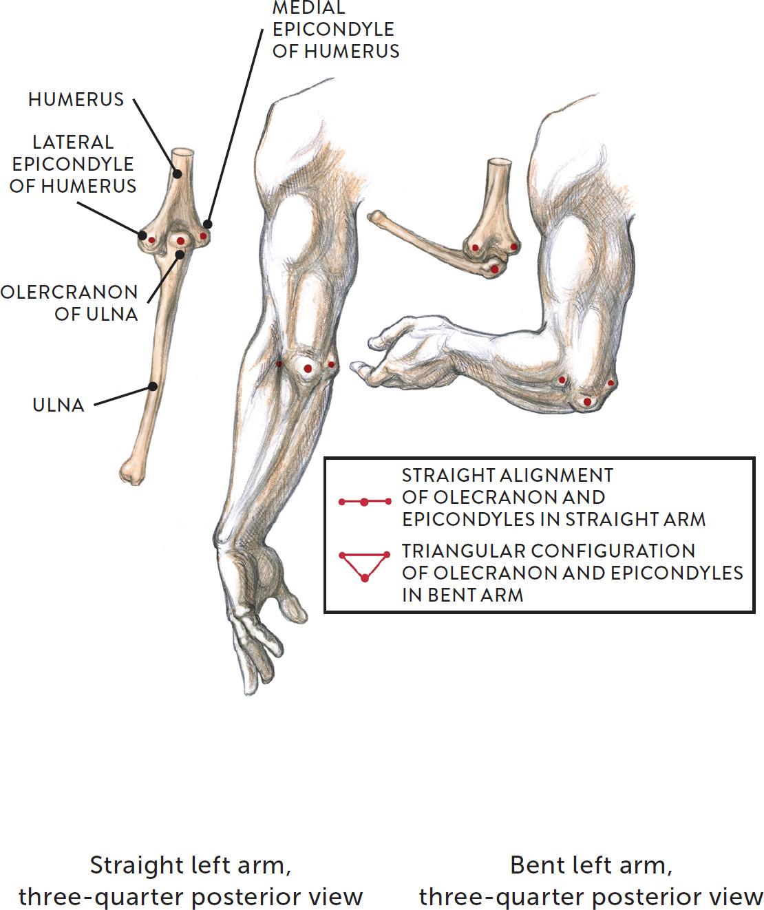 Olecranon anatomy definition