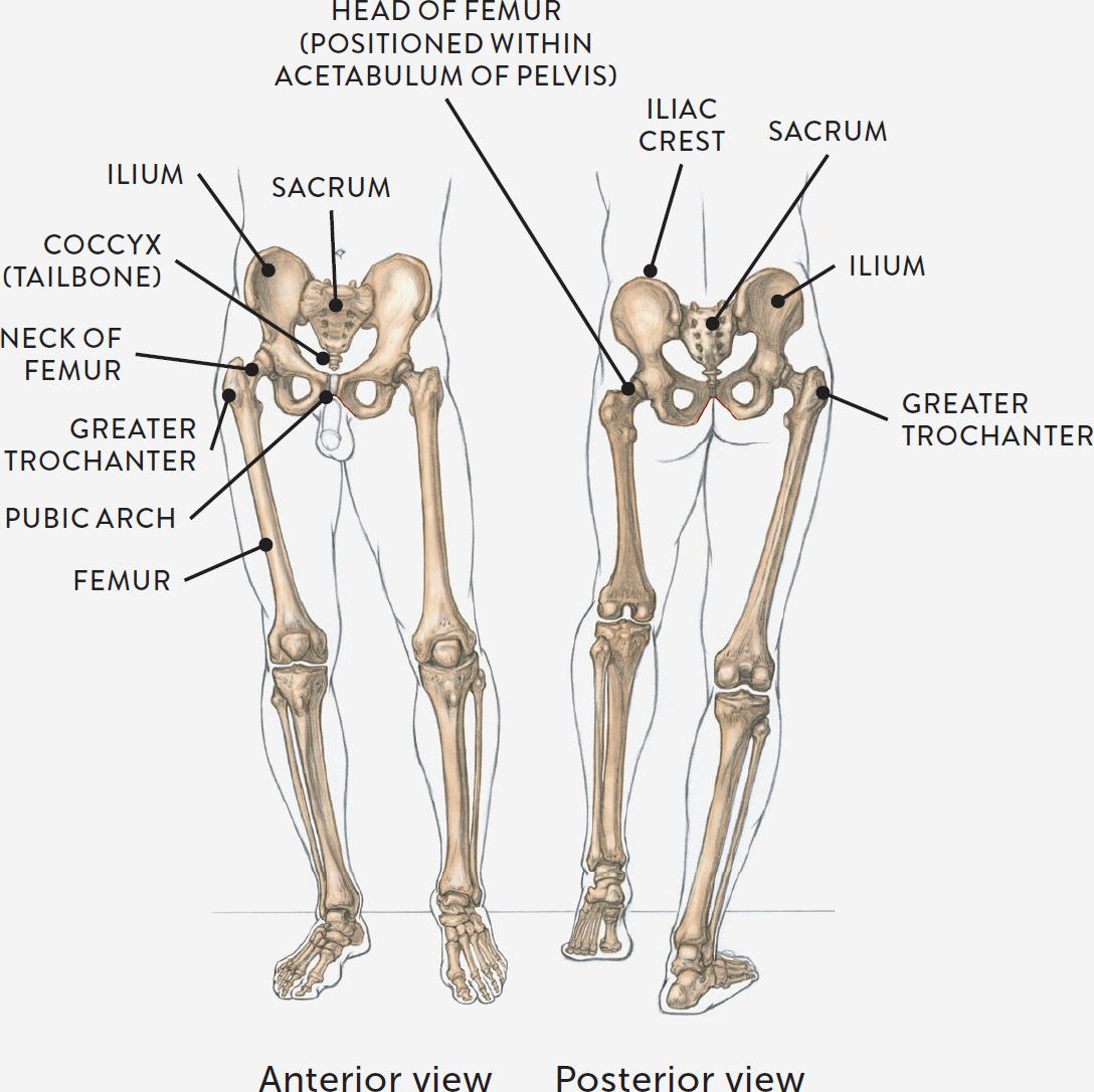 Human surface anatomy