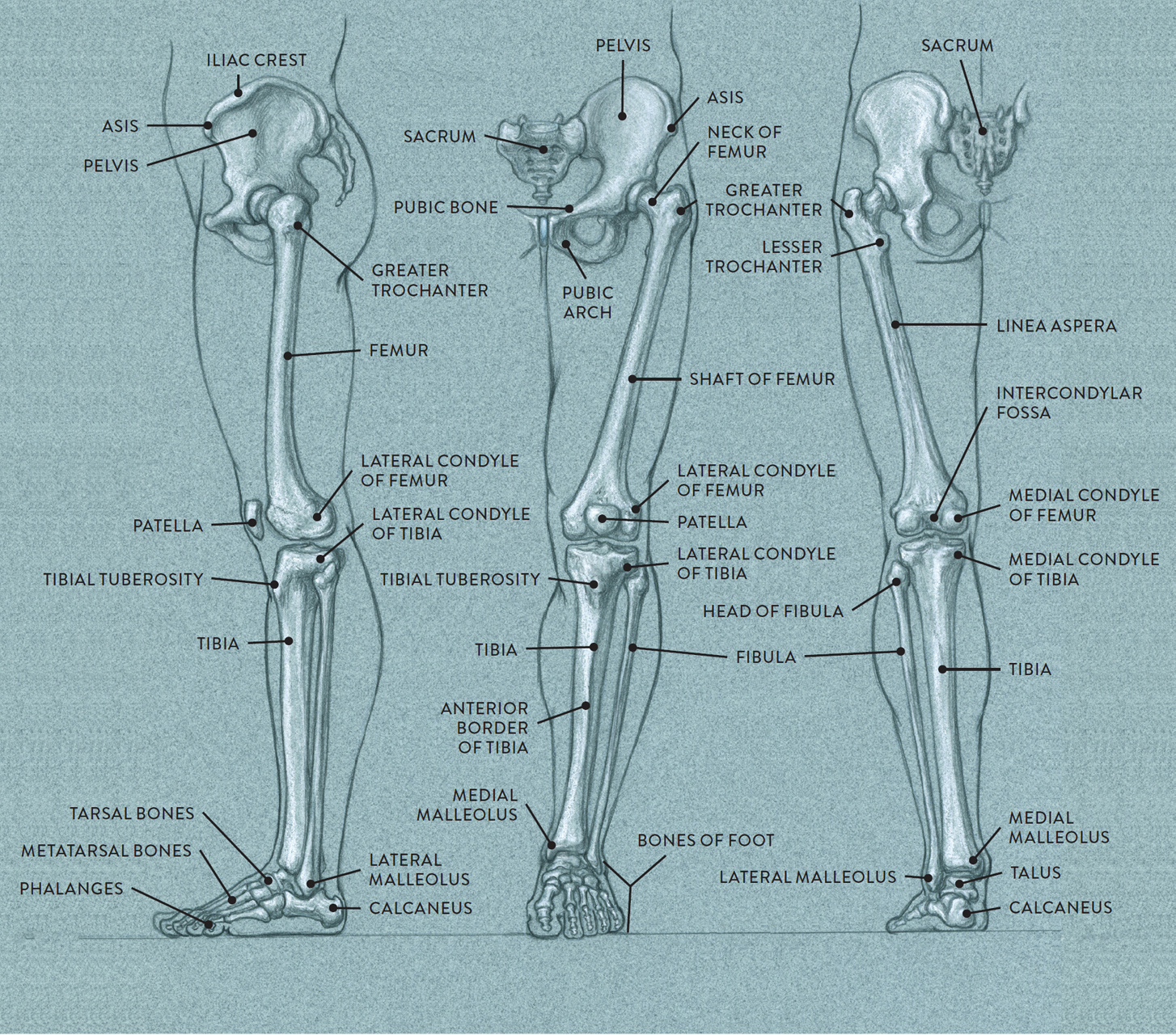Bones and Surface Landmarks - Classic Human Anatomy in Motion: The ...