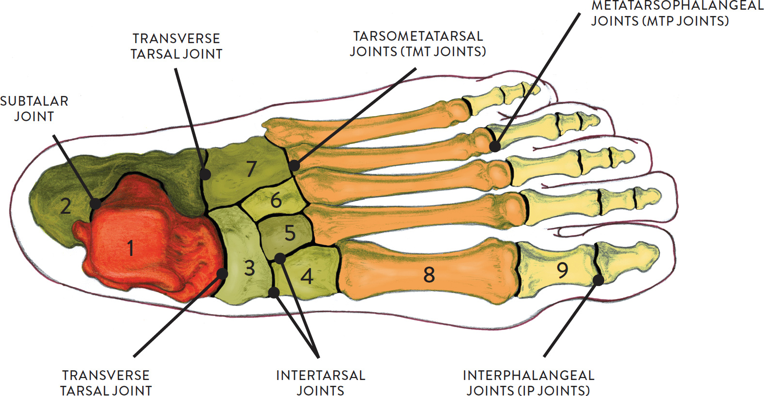Joints and Joint Movement - Classic Human Anatomy in Motion: The ...