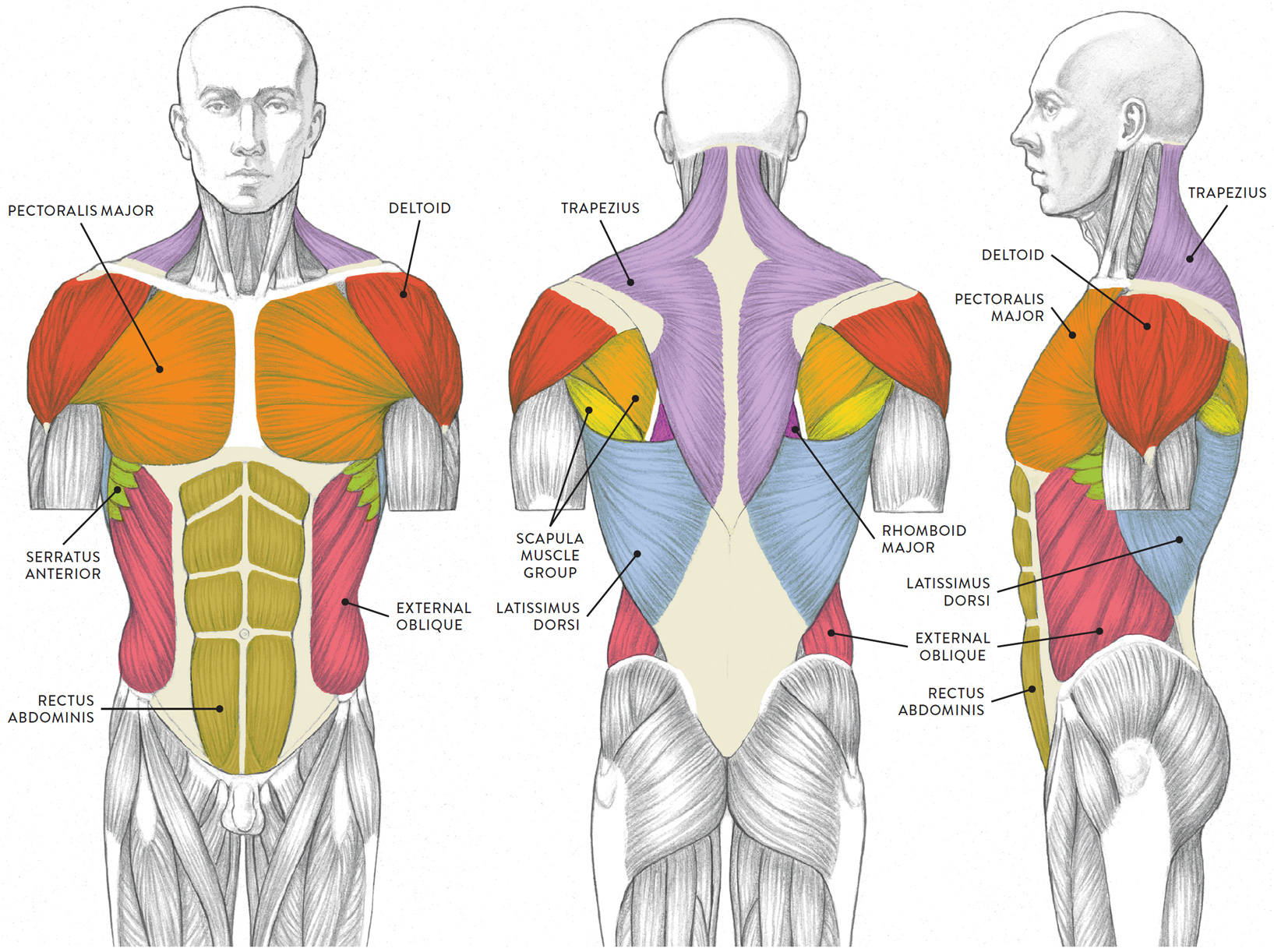 Muscles Of The Neck And Torso Manual Guide