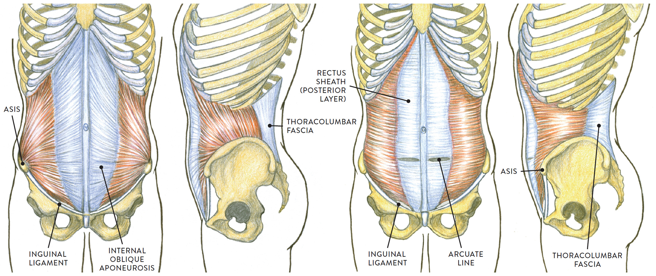 Muscles of the Neck and Torso - Classic Human Anatomy in Motion: The ...