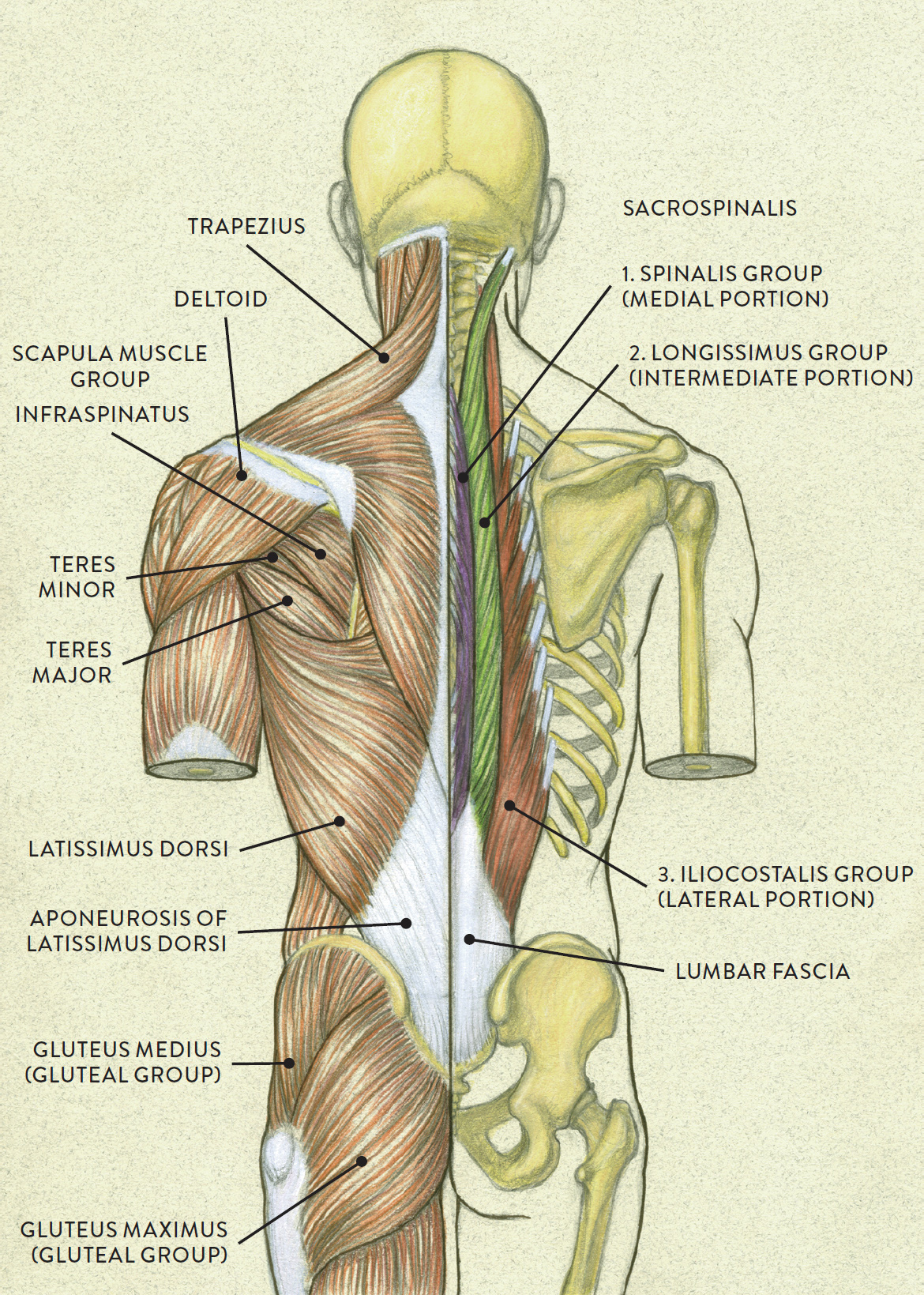 The Large Complex Muscles Of The Neck And Back Move The Manual Guide