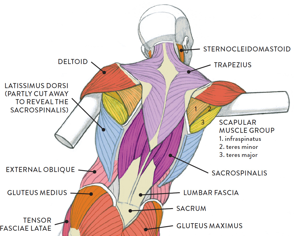 Muscles Of The Neck And Torso