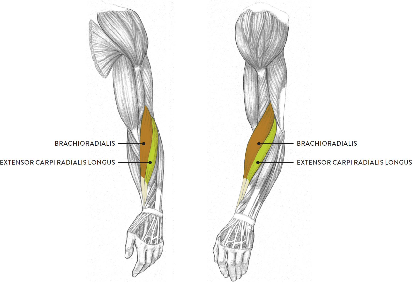 Muscles Of The Arm And Hand Classic Human Anatomy In