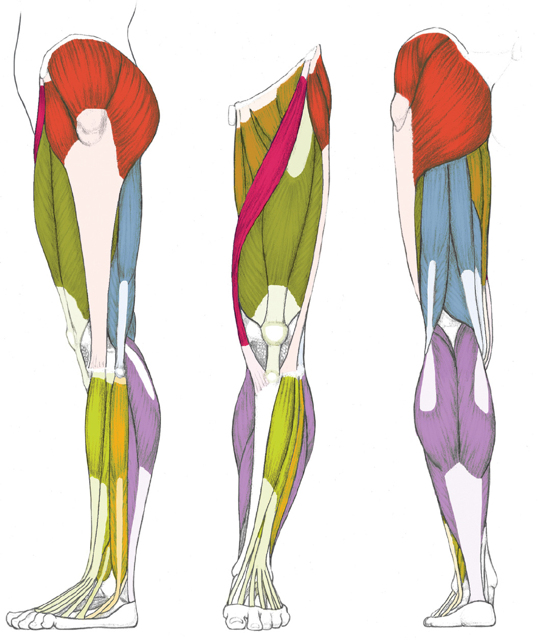 It is a graphic of Resource Muscle Leg Drawing