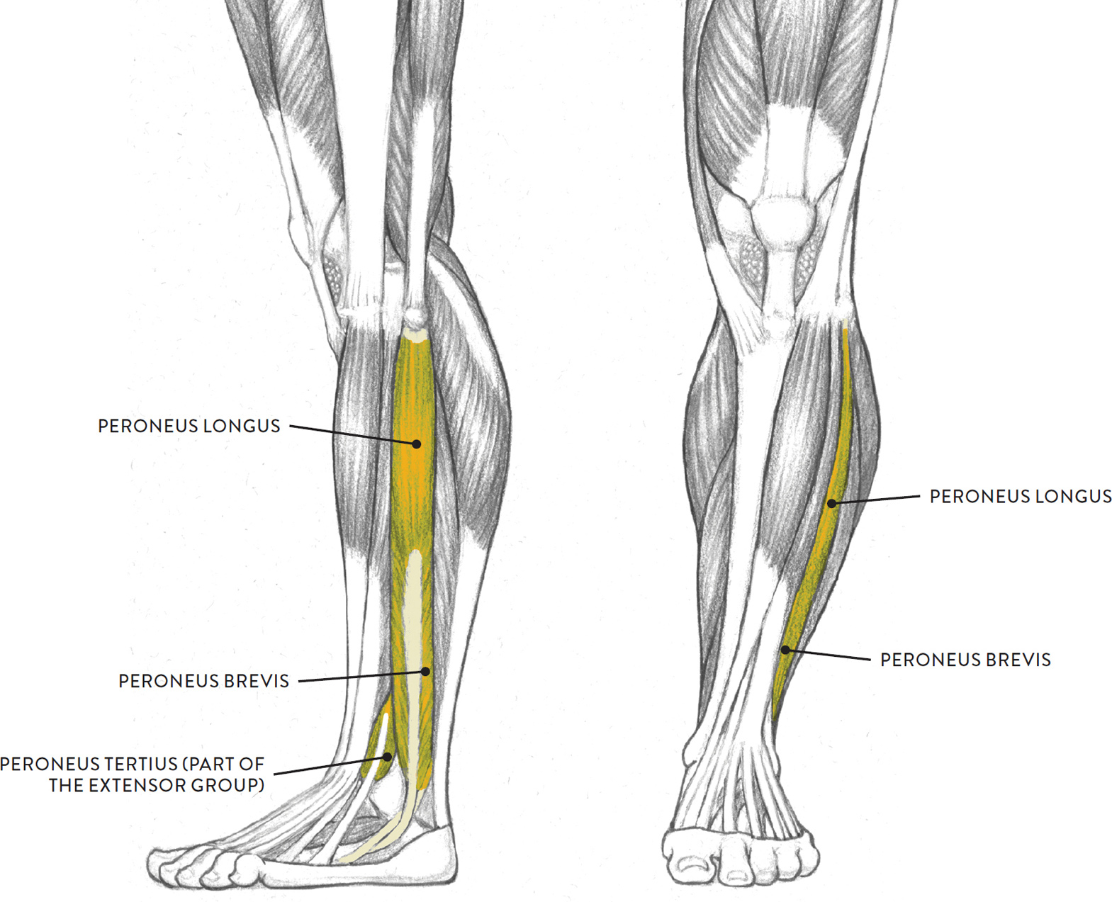 Anatomy of left leg