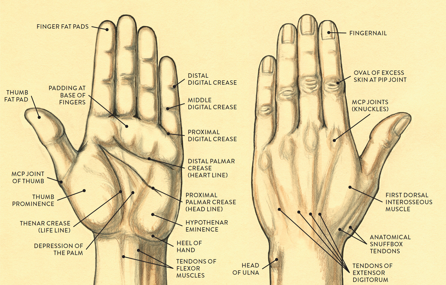 Old Fashioned Palm Hand Anatomy Component - Human Anatomy Images ...