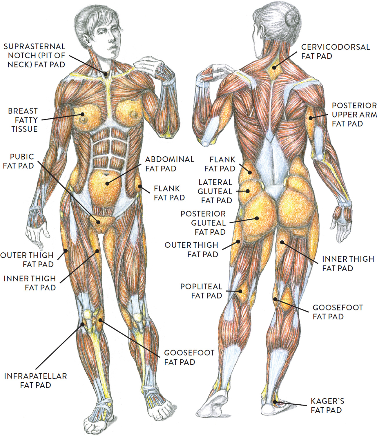 Body Types, Surface Landmarks, and Soft-Tissue Characteristics ...