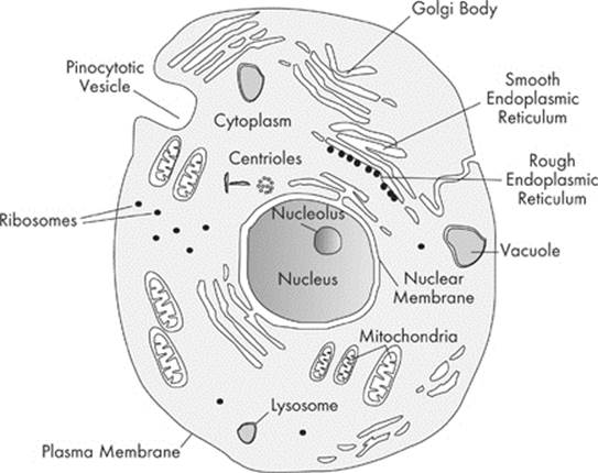 Organelles - Cells