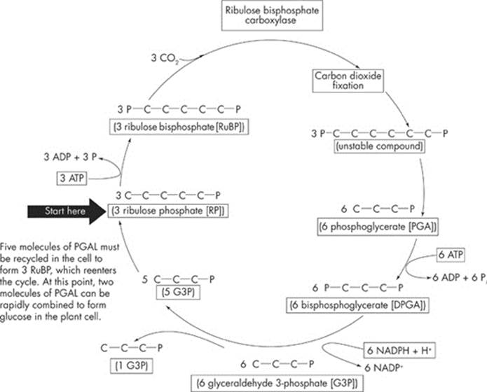A CLOSER LOOK AT PHOTOSYNTHESIS Photosynthesis Cracking the AP – Calvin Cycle Worksheet