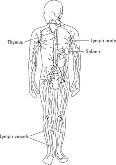 the lymphatic and immune system animal structure and function cracking the ap biology exam. Black Bedroom Furniture Sets. Home Design Ideas