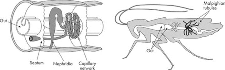 The excretory system animal structure and function cracking the some examples of excretory organs among invertebrates are nephridiafound in earthworms and malpighian tubules found in arthropods ccuart Choice Image