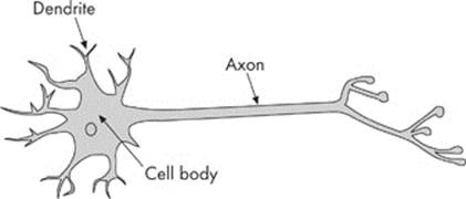The Nervous System Animal Structure And Function