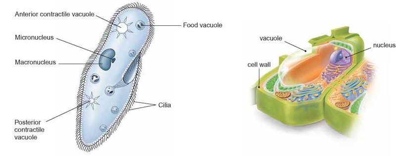Vesicle animal cell function - photo#53