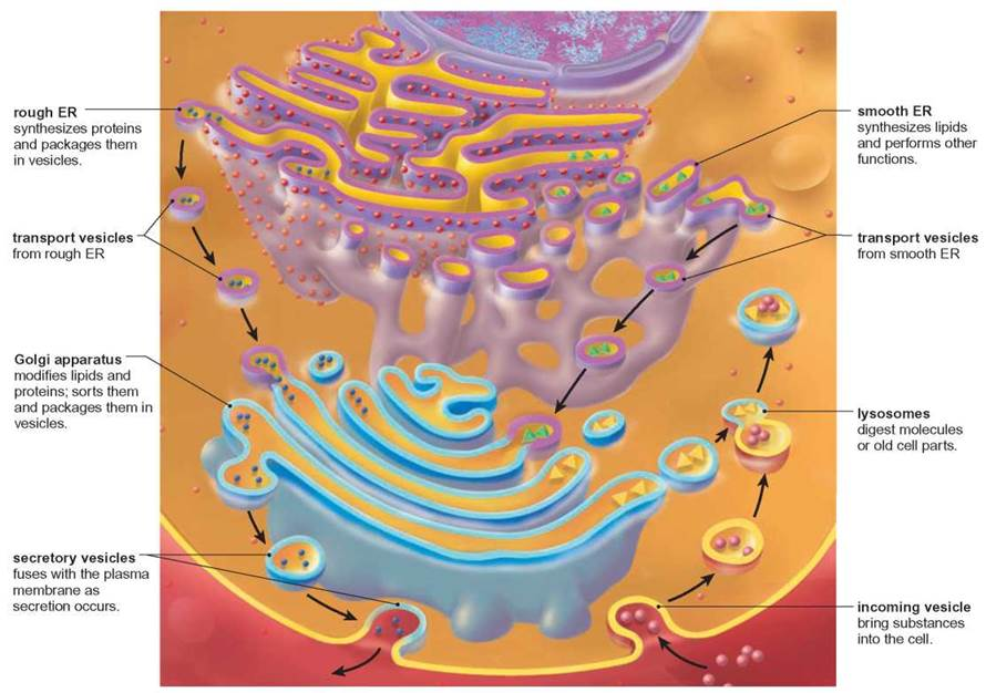 endomembrane system Kristiane søreng,  anne simonsen, in international review of cell and molecular biology, 2018 3 membrane trafficking the endomembrane system permits various functions of the eukaryotic cell to be compartmentalized (eg, protein degradation occurs in the lysosome), allowing a higher degree of cell specialization.