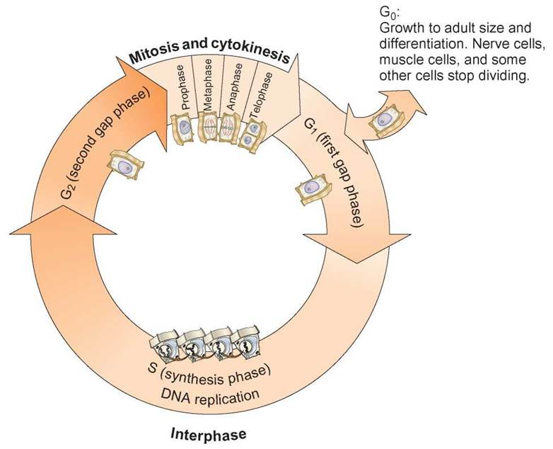 The Cell Cycle And Mitosis Cell Division Proliferation And