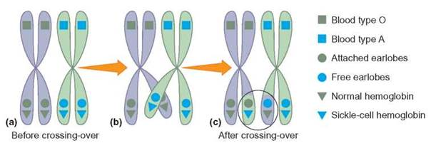 Sex chromosome number in human cells