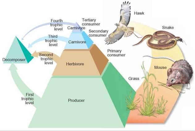 energy flow through ecosystems ecosystem dynamics the flow of