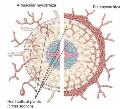 how do plants and fungi benefit from a mycorrhizal relationship