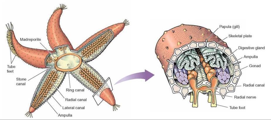 water vascular system in starfish pdf