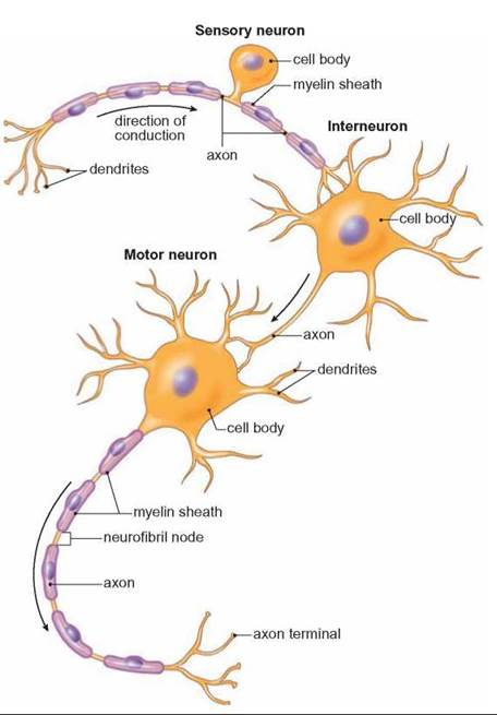 axon and dendrite relationship