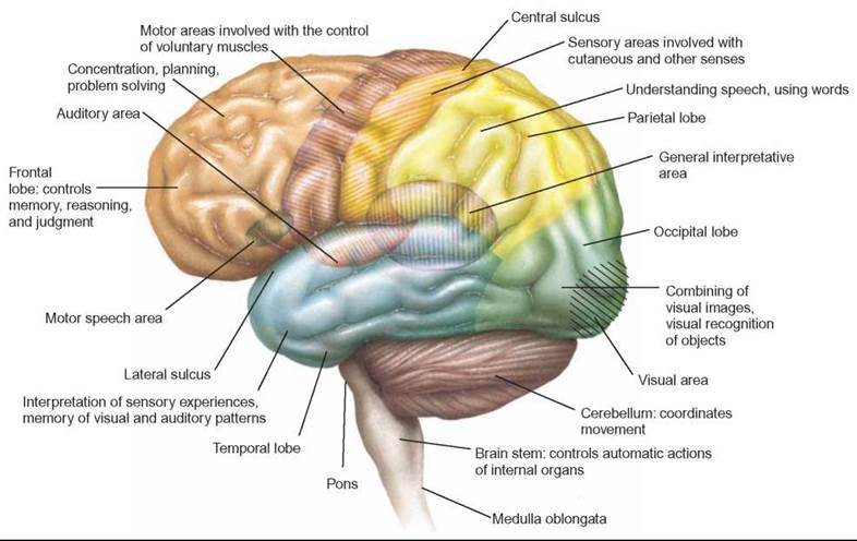 FIGURE 26.8. Specialized Areas of the Cerebrum