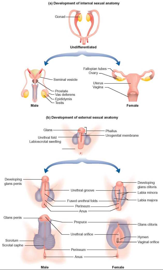 Sexual anatomy of a female