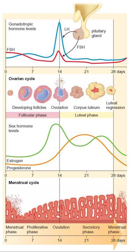 oogenesis and ovarian cycle The process by which female gametes develop is called oogenesis  the  ovarian cycle begins when a select number of primary oocytes start to grow  bigger.