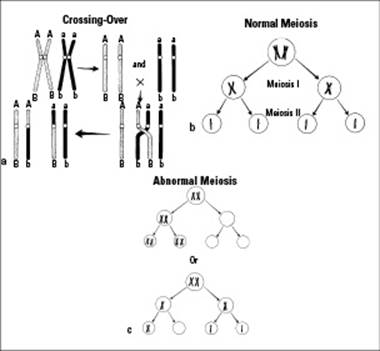 What is a simple explanation of meiosis for dummies?