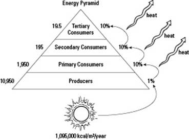 Energy Pyramid Percentages Observing How Organism...
