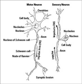 Sensory Neuron Impulse besides 26817 in addition Nerve Cell Diagram With Sheath additionally Adn moreover Sensory Neuron Diagram Labeled. on schematic diagram biology