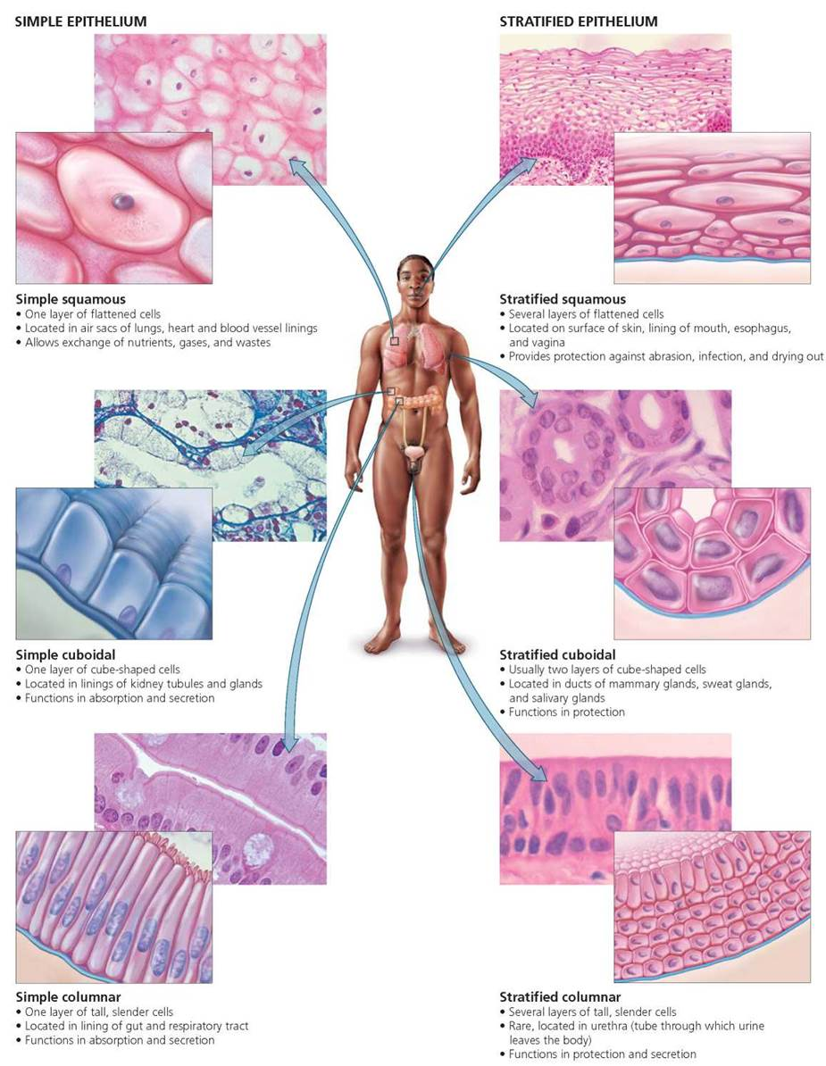 Figure 4 1  Types Of Epithelial Tissue  These Are Named