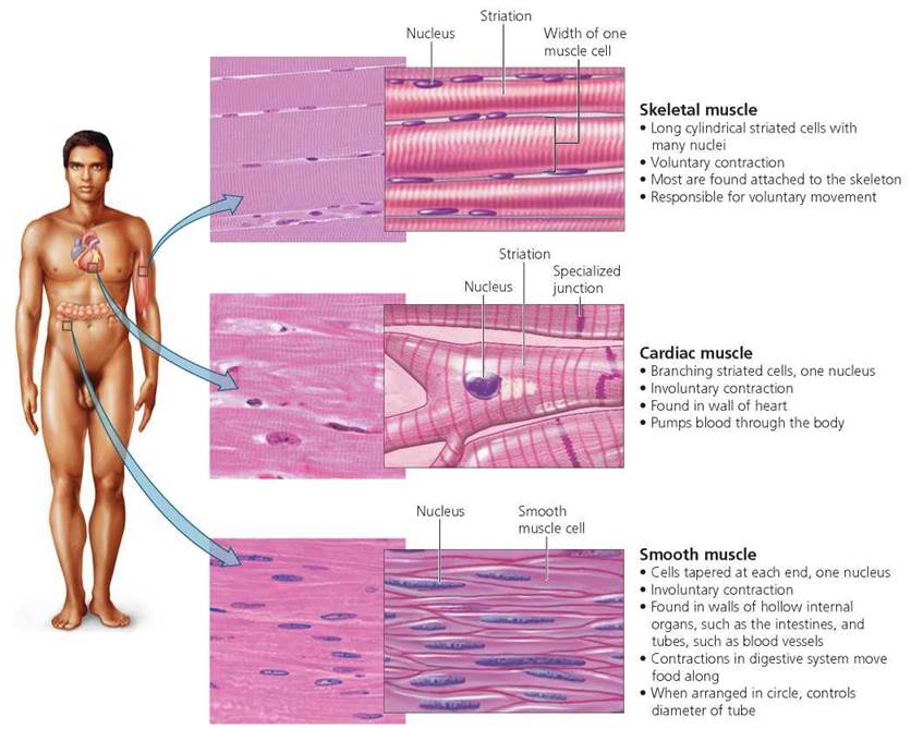 Muscular System Smooth Muscles – kefei04.com