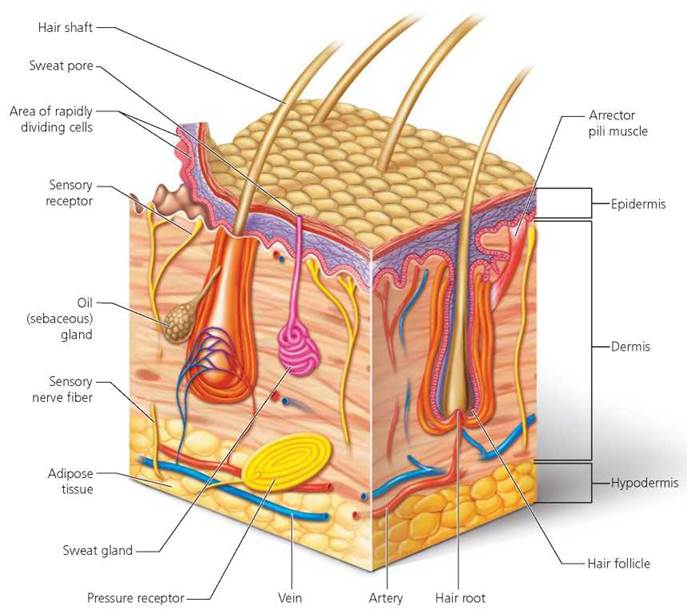 Human skin diagram without labels - photo#26