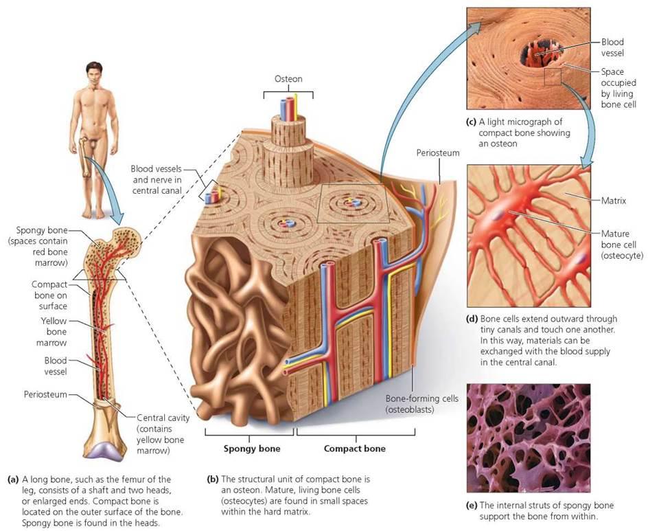The Skeletal System - Biology of Humans