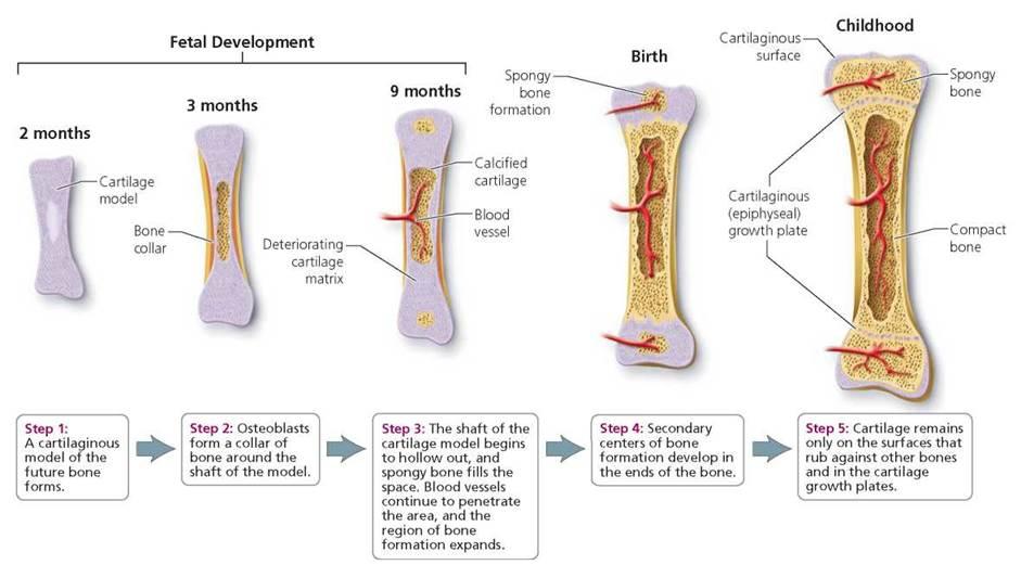 The Skeletal System Biology Of Humans