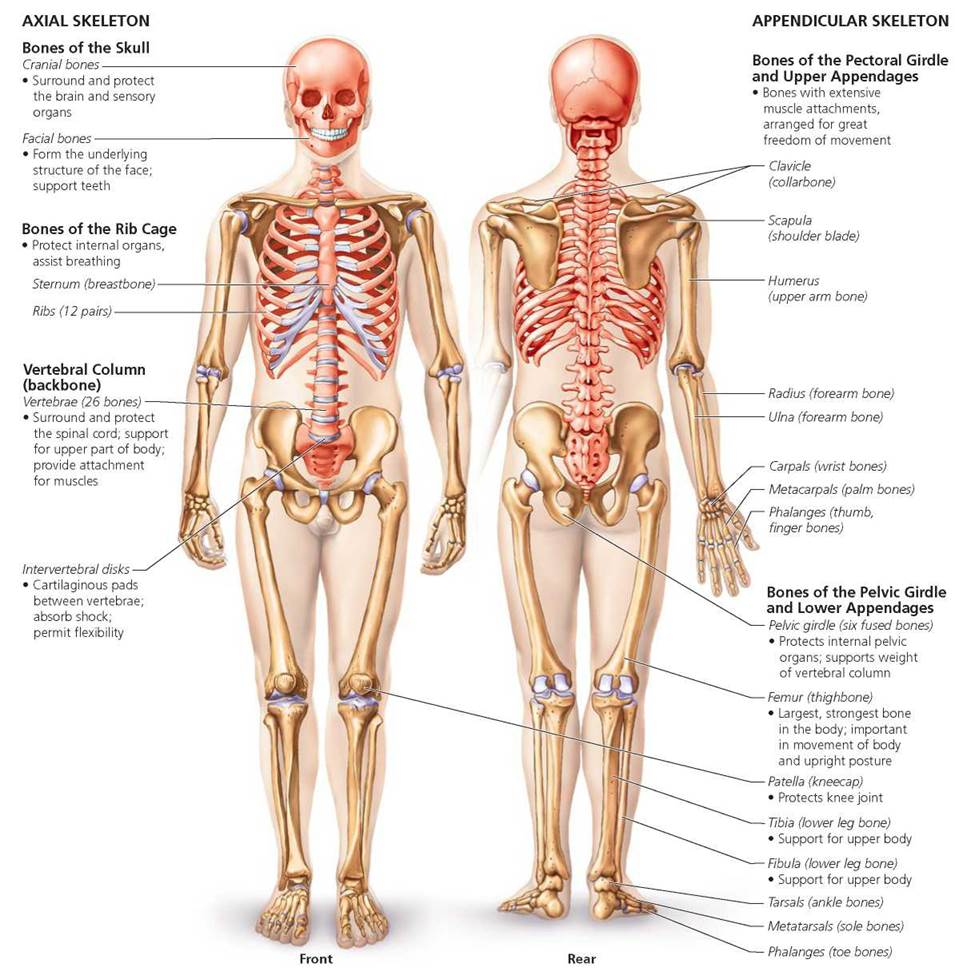 The Skeletal System Biology Of Humans