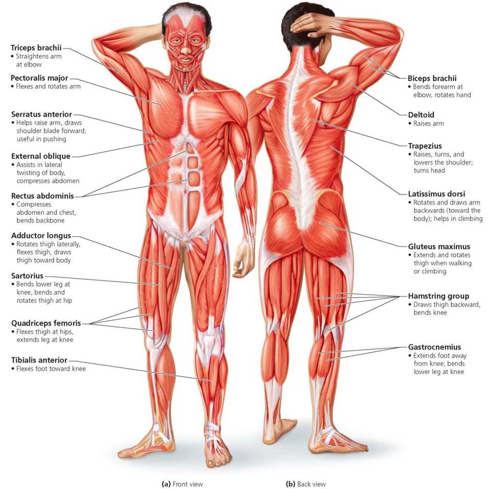 The Muscular System Biology Of Humans
