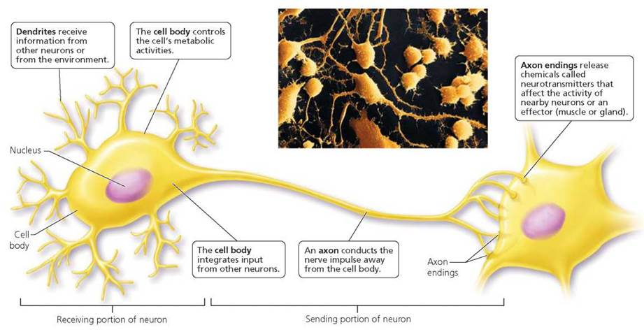Neurons  The Matter Of The Mind