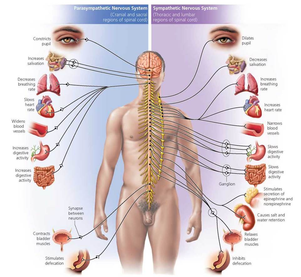 The Nervous System Biology Of Humans