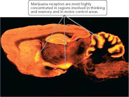 the health effects of marijuana on humans The drug, best-known for its feel-good effects and touted for its uses for multiple diseases,  more: health features marijuana drugs medicine brain.
