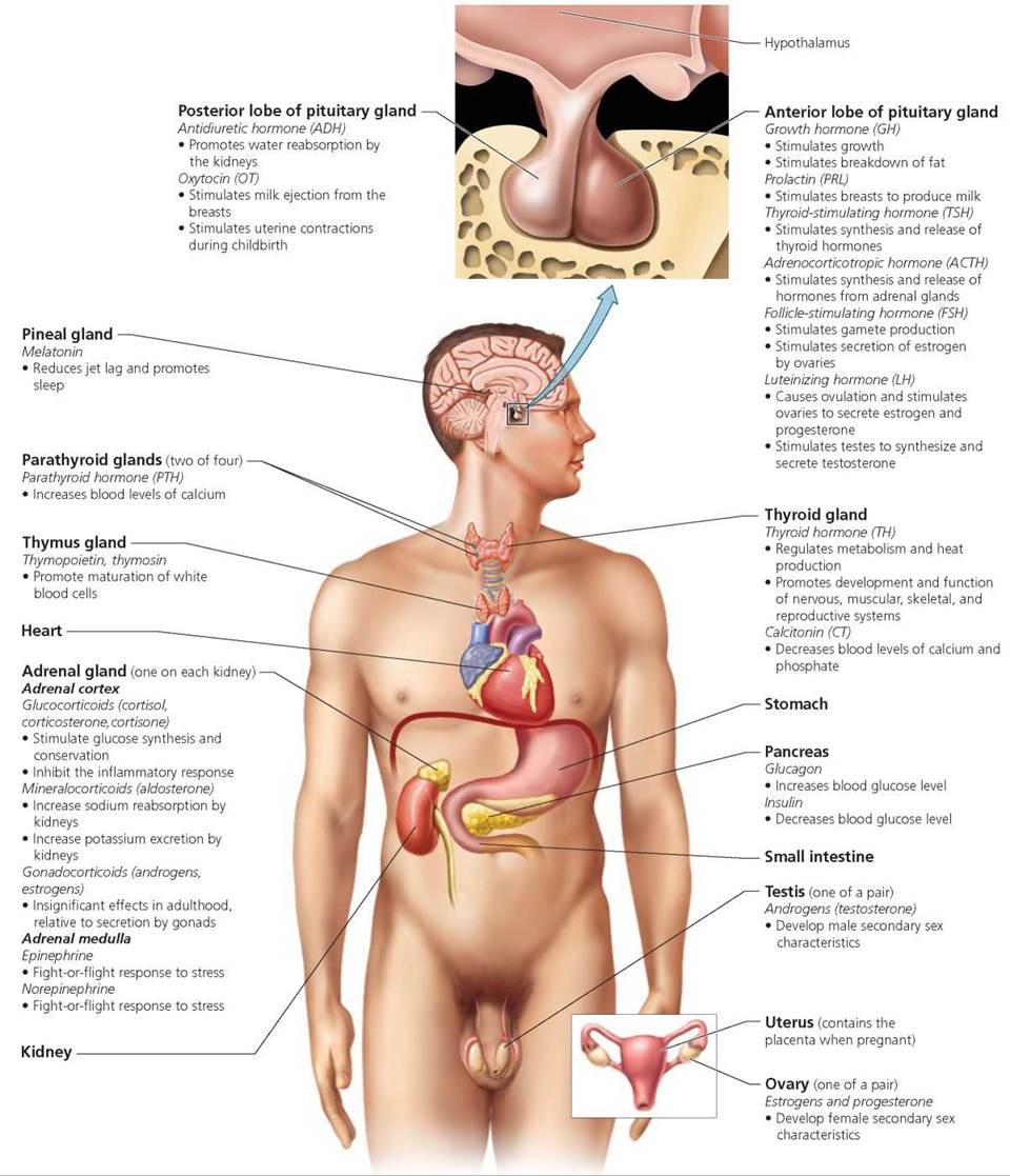 The Endocrine System Biology Of Humans