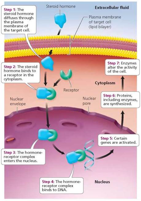 The Endocrine System - Biology of Humans