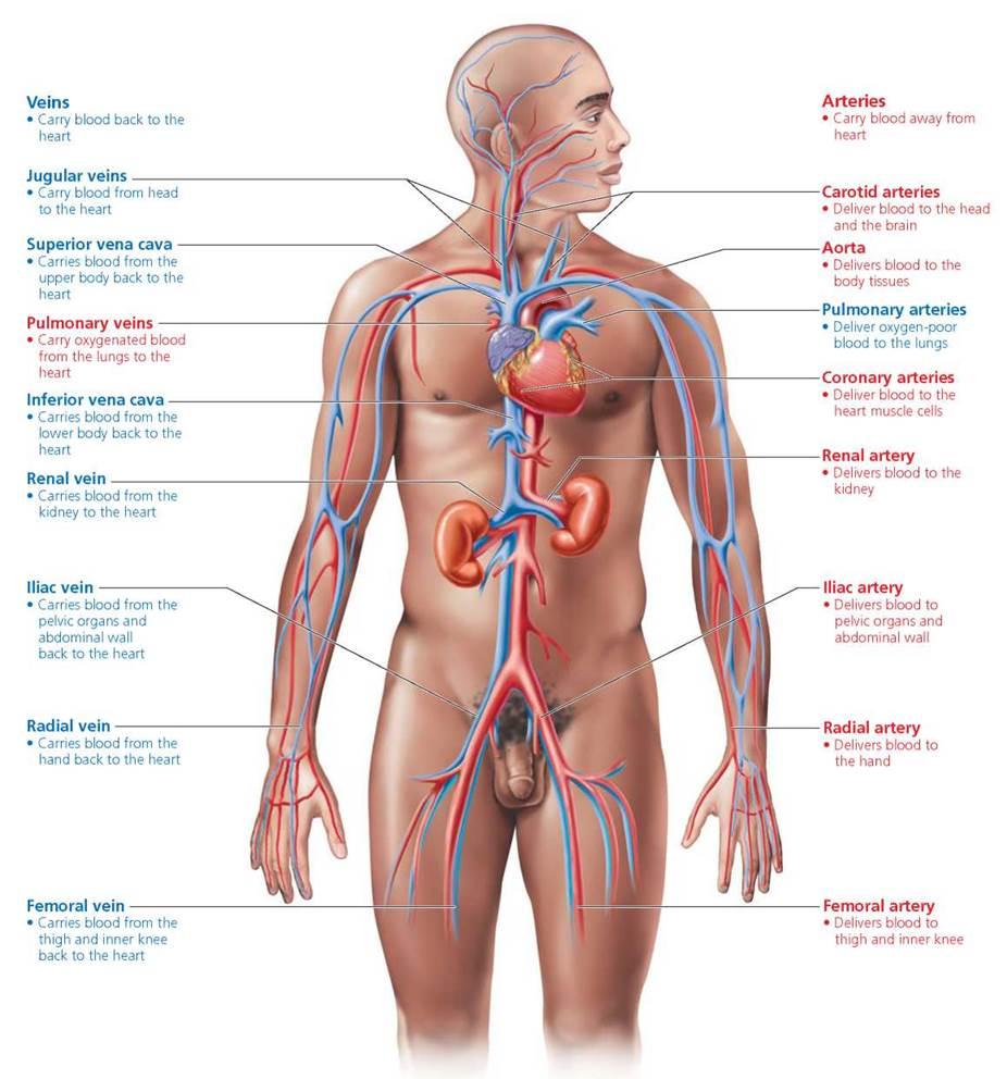 Lower Body Arteries