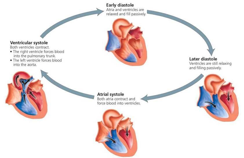 Cardiac Cycle Blood Fl...