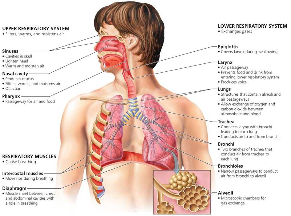 At Which Part Of The Respiratory System Does Oxygen Enter The