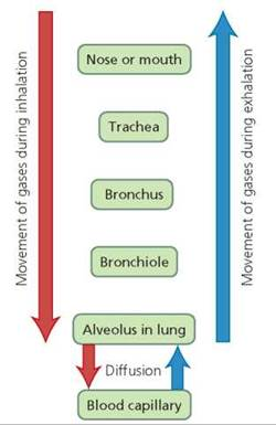 The Respiratory System - Biology of Humans