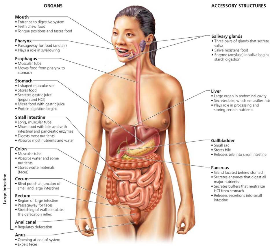 The structure of man. Intestine and its functions